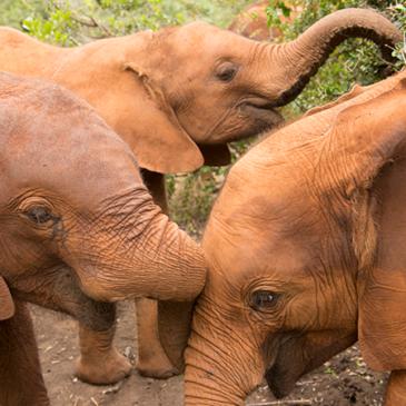Un orfenat per a elefants