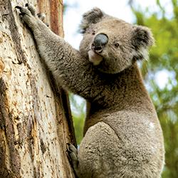 El coala